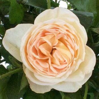 Peaches N Cream Petite Roses