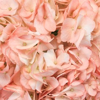 Dusty Rose Airbrushed Hydrangea