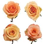 Peach Fresh Roses