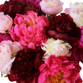 Peonies Flowers Mixed Colors for April
