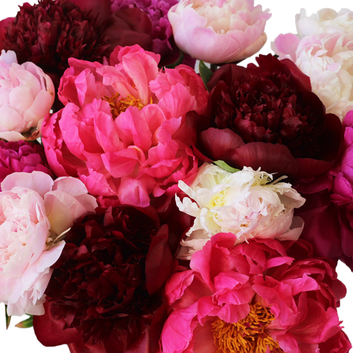 Peony Flowers Mixed Colors January Delivery