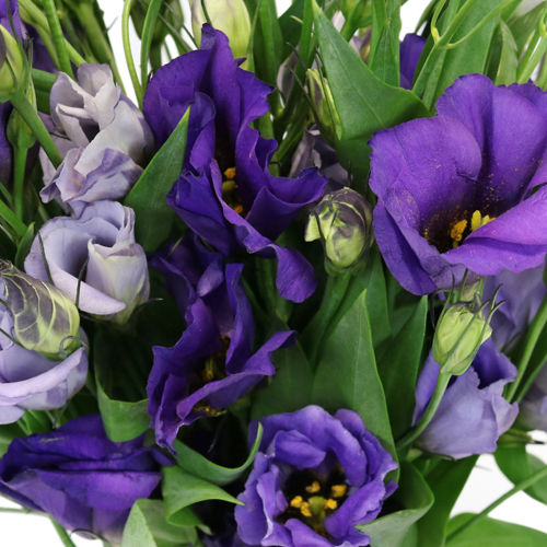 Hues of Purple Single Lisianthus Flower for June to September Delivery