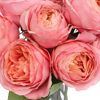 Pink Antique Garden Rose