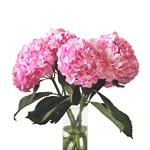 White Hydrangea Bulk Flowers