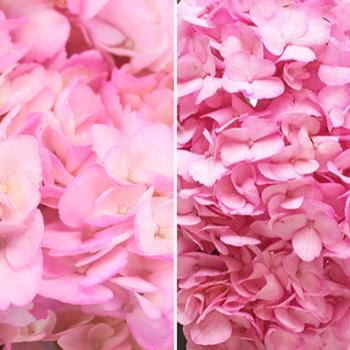 Pink Enhanced Hydrangea