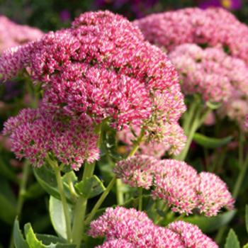 Pink Stonecrop Sedum Flower