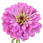 Wholesale Gerrondo Daisy Flower Orange