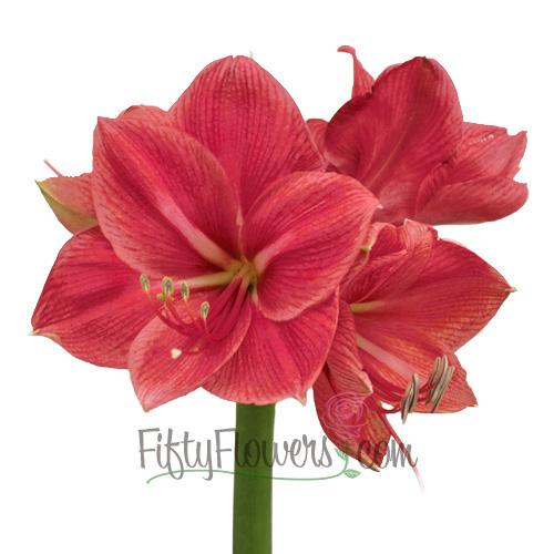 Amaryllis Pink Flower
