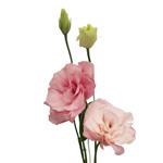 Medium Pink Lisianthus Flower