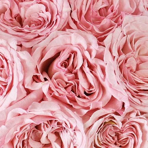 Garden Rose Soft Pink Ohara