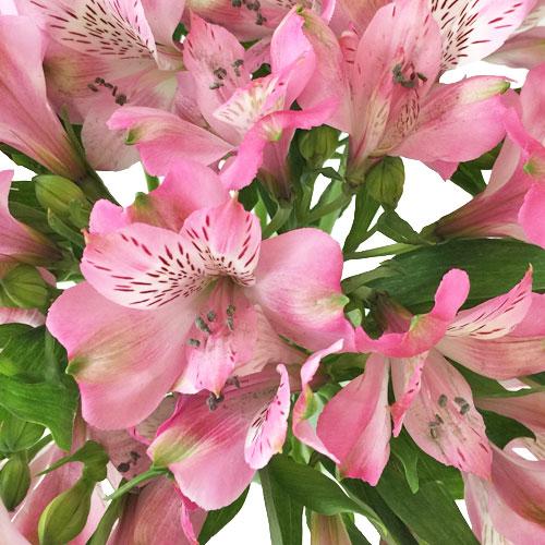 Pink Peruvian Lily Flowers