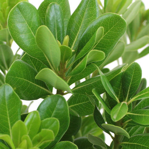 Pittosporum Greenery