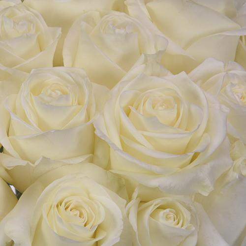 Polar Star White Rose