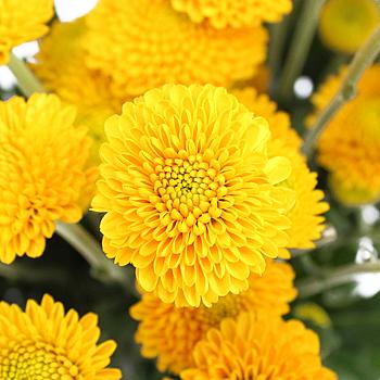 Golden Yellow Button Flower