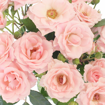 Posy Pink Bulk Spray Roses