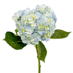 Bulk Hydrangea Giant Lime Green Flower