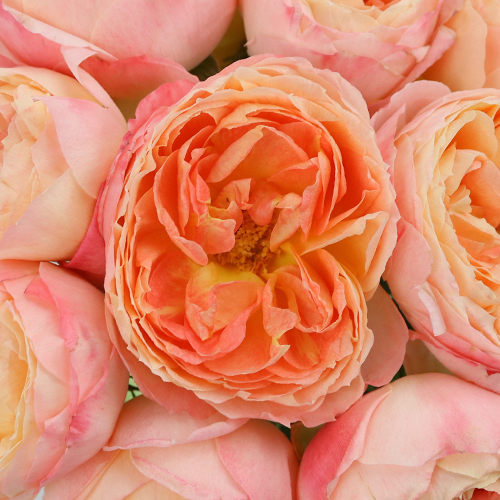 Southern Comfort Peach Garden Rose