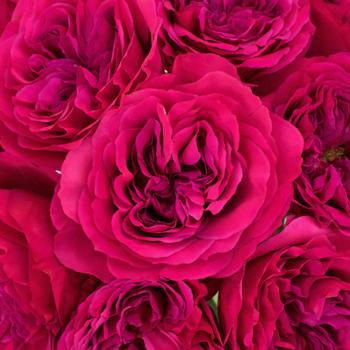 Garden Rose Princess Pink