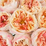 Deep Peach Garden Rose