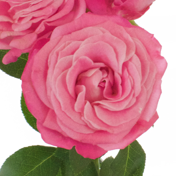 Prismatic Pink Bulk Spray Roses