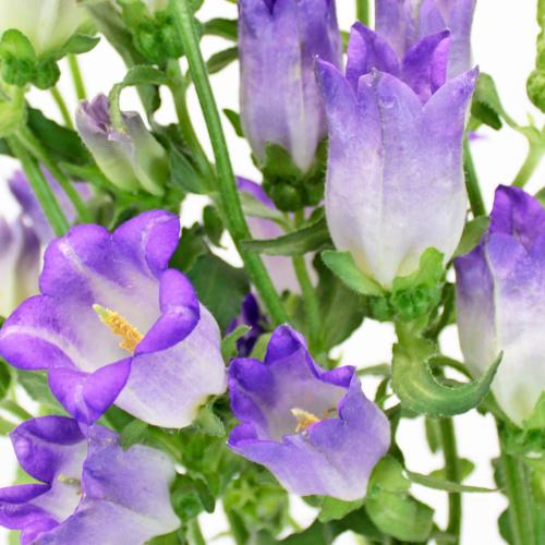 Campanulas Lavender Flower