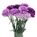 Purple_Carnation_Flower