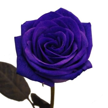 Purple Roses Tinted