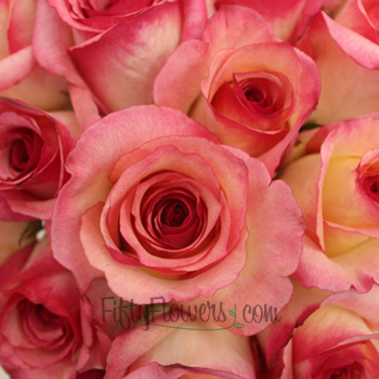 Queen Amazon White and Pink Rose