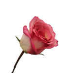 Bulk Rose White and Pink Queen Amazone