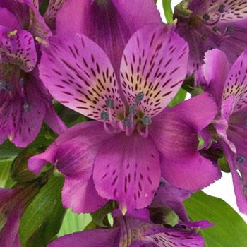 Grape Purple Peruvian Lilies