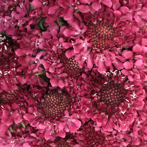 Rosy Cheeks Scabiosa Flower