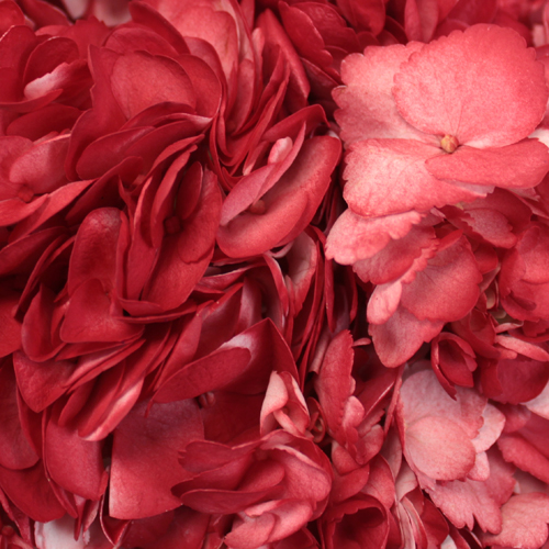 Lipstick Red Airbrushed Hydrangea
