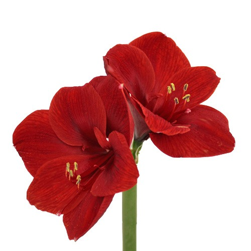 Amaryllis Red Bulk Flower