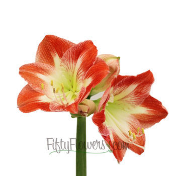 Candy Cane Amaryllis Red and White Flower