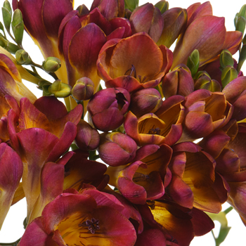 Marsala Me Married Freesia Flower