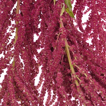 Red Hanging Amaranthus Fresh Autumn Greens