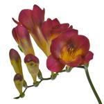 Bulk Yellow Freesia Flower