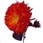 Teddy Bear Sunflower Red