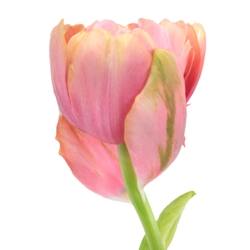 Peony Tulips Bicolor Salmon Pink