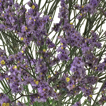 Lavender Limonium Airbrushed Filler Flowers