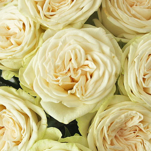 Antique Lace Garden Rose