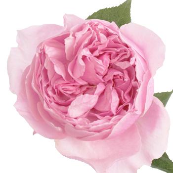 Rosalind David Austin Peony Garden Rose