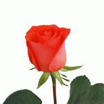 Salmon Pink Rose Marjan