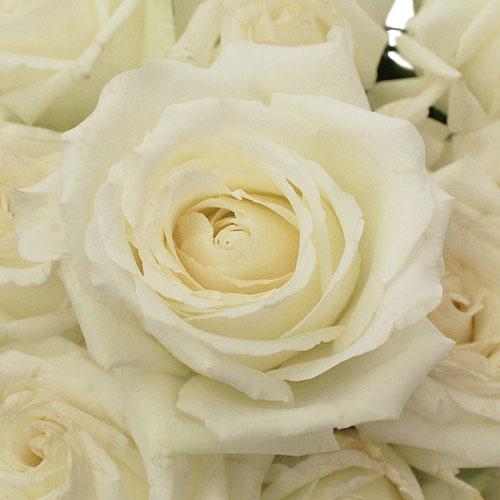 MT Everest White Rose