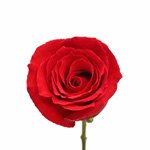 Red Rose Rouge Baizer