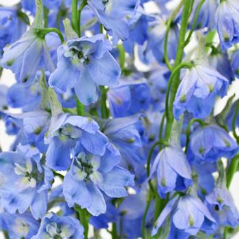 Light Blue Delphinium Flower
