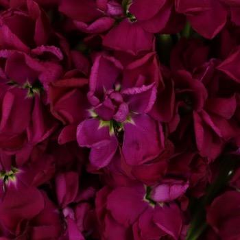 Stock Roseberry Flower
