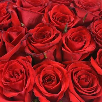 Ruby Red Slipper Rose