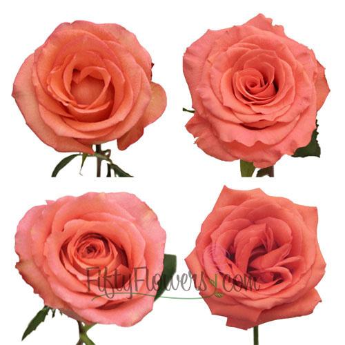 Salmon Pink Roses