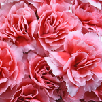Bulk Peppermint Mini Carnation Flowers